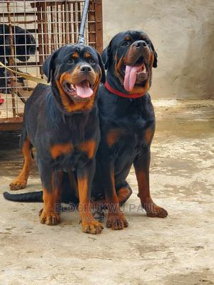 0-1 Month Female Purebred Rottweiler   Dogs & Puppies for sale in Anambra State, Awka