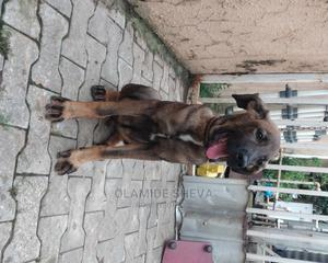 3-6 Month Male Mixed Breed Mastiff | Dogs & Puppies for sale in Abuja (FCT) State, Lokogoma