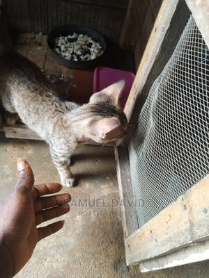 1-3 Month Female Purebred Cat   Cats & Kittens for sale in Lagos State, Shomolu