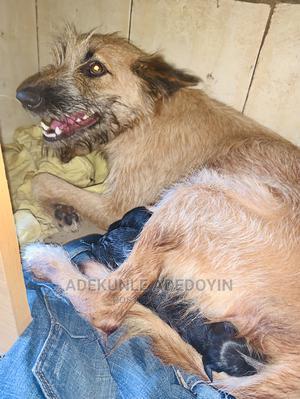6-12 Month Female Mixed Breed Australian Shepherd | Dogs & Puppies for sale in Ekiti State, Ado Ekiti
