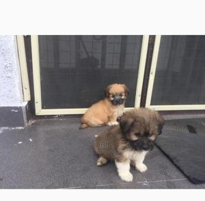 1-3 Month Female Purebred Lhasa Apso | Dogs & Puppies for sale in Abuja (FCT) State, Lugbe District