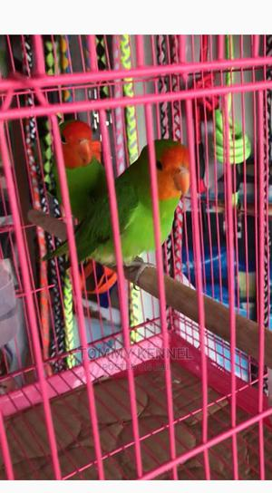 Love Birds And Parakeets Available With Cages   Pet's Accessories for sale in Ogun State, Ijebu Ode