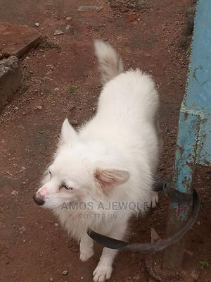 6-12 Month Male Purebred American Eskimo | Dogs & Puppies for sale in Lagos State, Ogba