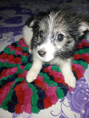1-3 Month Female Purebred Lhasa Apso | Dogs & Puppies for sale in Delta State, Warri