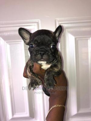1-3 Month Female Purebred French Bulldog | Dogs & Puppies for sale in Lagos State, Lekki