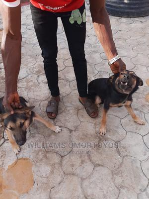6-12 Month Female Purebred German Shepherd   Dogs & Puppies for sale in Ekiti State, Ado Ekiti