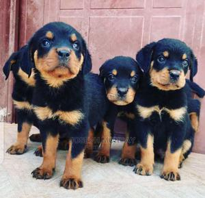 1-3 Month Female Purebred Rottweiler | Dogs & Puppies for sale in Ondo State, Ondo / Ondo State