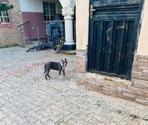 3-6 Month Female Purebred American Pit Bull Terrier | Dogs & Puppies for sale in Lagos State, Badagry