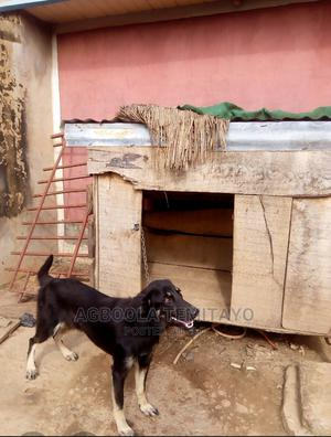 3-6 Month Female Purebred German Shepherd   Dogs & Puppies for sale in Ekiti State, Ado Ekiti