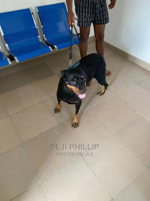 1+ Year Female Purebred Rottweiler | Dogs & Puppies for sale in Lagos State, Badagry