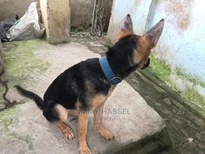 3-6 Month Female Purebred German Shepherd   Dogs & Puppies for sale in Lagos State, Ojo