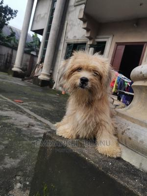 6-12 Month Male Purebred Lhasa Apso | Dogs & Puppies for sale in Rivers State, Port-Harcourt