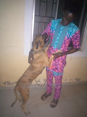 1+ Year Female Purebred Boerboel | Dogs & Puppies for sale in Lagos State, Ipaja
