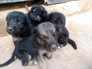 0-1 Month Female Purebred German Shepherd   Dogs & Puppies for sale in Ogun State, Ado-Odo/Ota