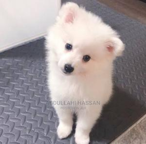 1-3 Month Female Purebred American Eskimo | Dogs & Puppies for sale in Abia State, Bende