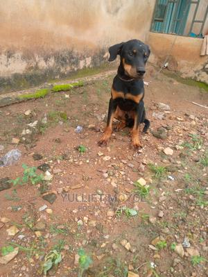 3-6 Month Male Purebred Rottweiler | Dogs & Puppies for sale in Oyo State, Ibadan