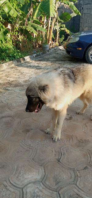 1+ Year Male Purebred Caucasian Shepherd | Dogs & Puppies for sale in Lagos State, Ojo