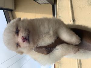 1-3 Month Female Purebred American Eskimo | Dogs & Puppies for sale in Lagos State, Amuwo-Odofin