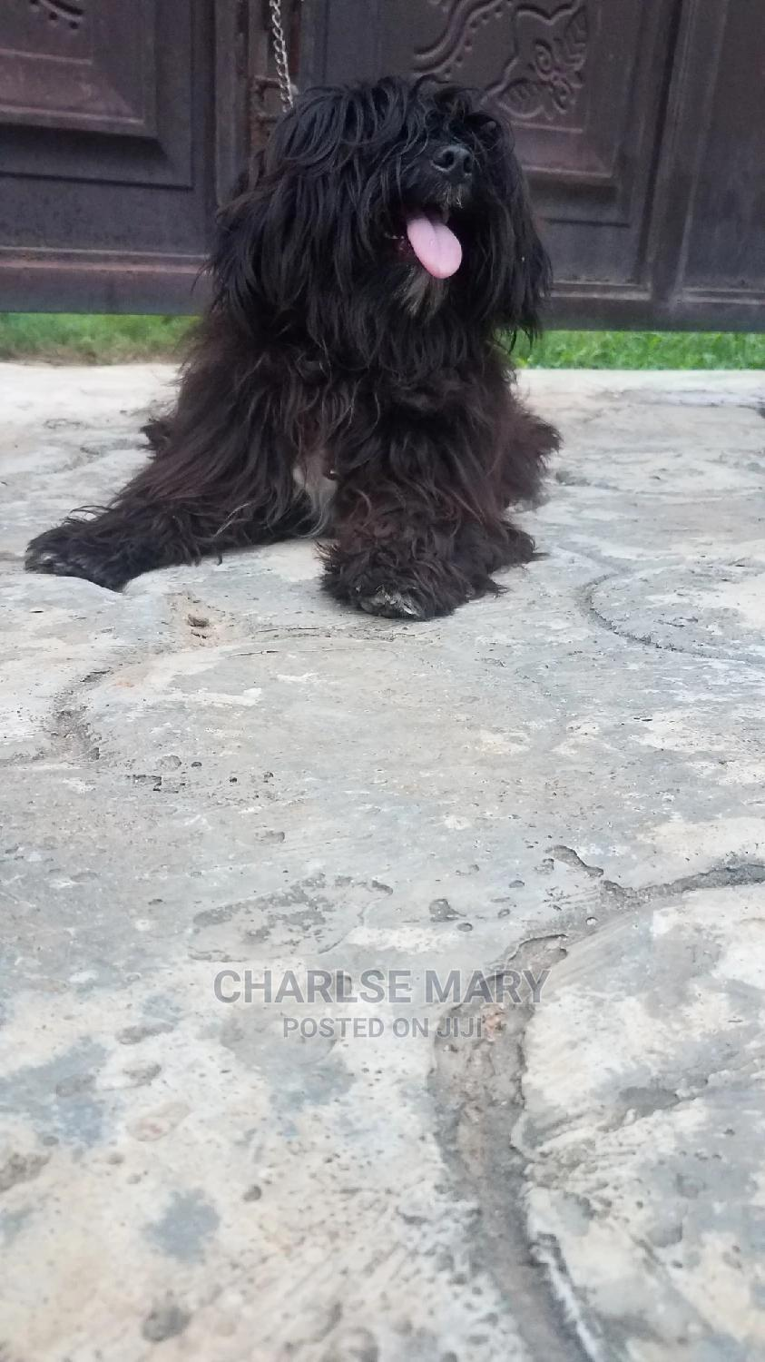1+ Year Male Purebred Lhasa Apso   Dogs & Puppies for sale in Ifako-Ijaiye, Lagos State, Nigeria