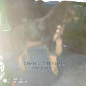 3-6 Month Female Purebred Rottweiler | Dogs & Puppies for sale in Lagos State, Alimosho