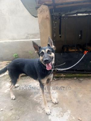 6-12 Month Male Mixed Breed German Shepherd | Dogs & Puppies for sale in Rivers State, Port-Harcourt