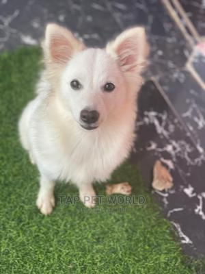 3-6 Month Male Purebred American Eskimo | Dogs & Puppies for sale in Kwara State, Ilorin South
