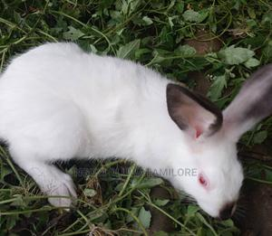 Rabbits for Sale | Other Animals for sale in Ogun State, Ijebu Ode