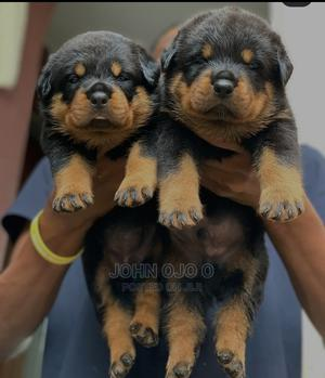1-3 Month Female Purebred Rottweiler | Dogs & Puppies for sale in Ogun State, Ayetoro