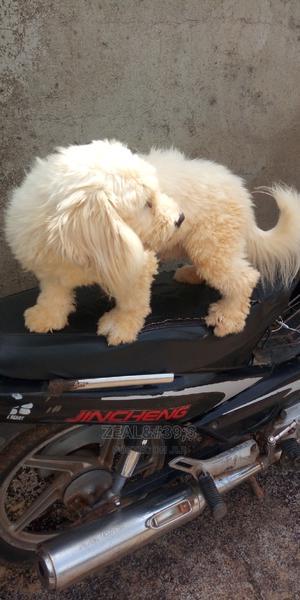 6-12 Month Male Purebred Lhasa Apso | Dogs & Puppies for sale in Kaduna State, Kaduna / Kaduna State