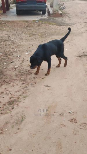1+ Year Male Purebred Rottweiler | Dogs & Puppies for sale in Edo State, Owan
