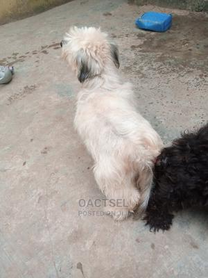 Stud Services | Pet Services for sale in Lagos State, Ikotun/Igando