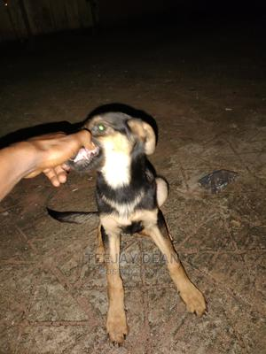 3-6 Month Male Purebred German Shepherd | Dogs & Puppies for sale in Delta State, Ika North East