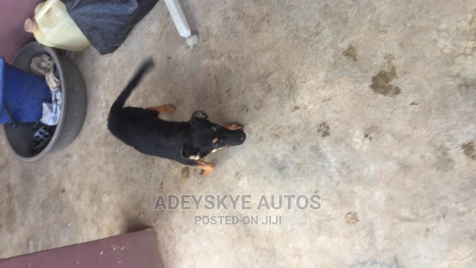 1+ Year Male Mixed Breed German Shepherd   Dogs & Puppies for sale in Ifako-Ijaiye, Lagos State, Nigeria