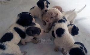 0-1 Month Female Mixed Breed Samoyed | Dogs & Puppies for sale in Abuja (FCT) State, Lugbe District