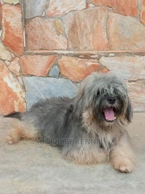 1+ Year Male Purebred Lhasa Apso | Dogs & Puppies for sale in Oyo State, Ibadan