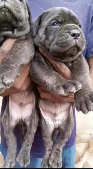 1-3 Month Male Purebred Boerboel | Dogs & Puppies for sale in Enugu State, Igbo-Eze North