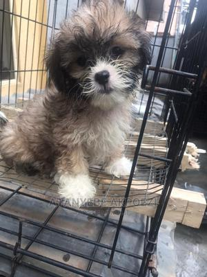 1-3 Month Female Purebred Lhasa Apso   Dogs & Puppies for sale in Lagos State, Ojo