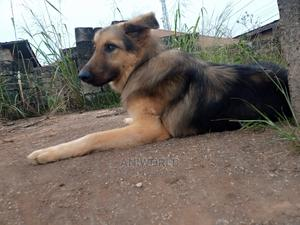 6-12 Month Male Purebred Caucasian Shepherd | Dogs & Puppies for sale in Lagos State, Lekki