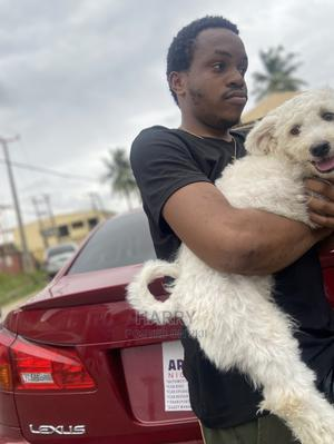 6-12 Month Male Purebred Lhasa Apso | Dogs & Puppies for sale in Lagos State, Ogba