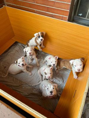 1-3 Month Male Purebred Bulldog | Dogs & Puppies for sale in Lagos State, Alimosho