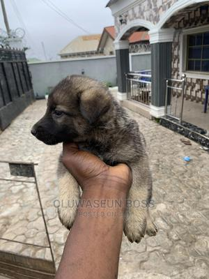 0-1 Month Male Purebred German Shepherd | Dogs & Puppies for sale in Osun State, Osogbo