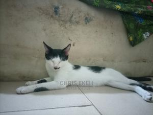 6-12 Month Male Purebred American Shorthair   Cats & Kittens for sale in Abia State, Umuahia