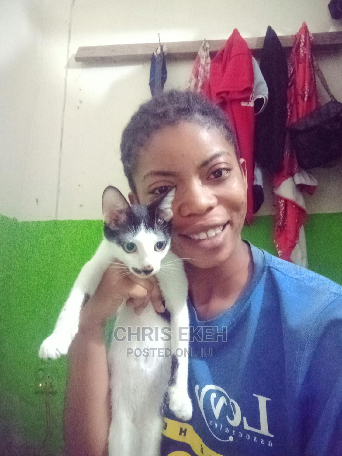 Archive: 6-12 Month Male Purebred American Shorthair