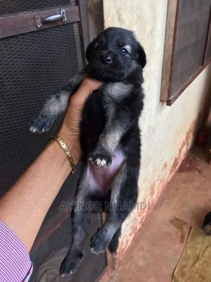 1-3 Month Female Purebred German Shepherd | Dogs & Puppies for sale in Enugu State, Nsukka