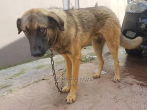 6-12 Month Male Mixed Breed Caucasian Shepherd | Dogs & Puppies for sale in Lagos State, Ipaja