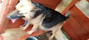 6-12 Month Female Purebred German Shepherd   Dogs & Puppies for sale in Osun State, Ilesa