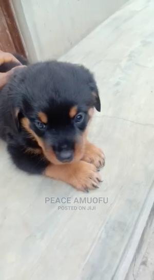 1-3 Month Female Purebred Rottweiler | Dogs & Puppies for sale in Ogun State, Abeokuta North