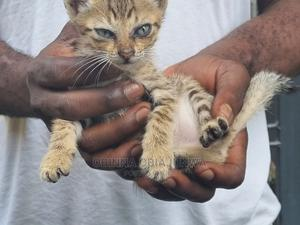 0-1 Month Male Purebred Cat | Cats & Kittens for sale in Lagos State, Ipaja