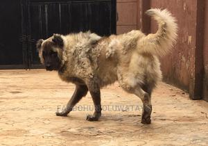 1+ Year Male Purebred Caucasian Shepherd   Dogs & Puppies for sale in Lagos State, Ikorodu