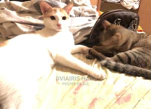 6-12 Month Female Mixed Breed Cat   Cats & Kittens for sale in Lagos State, Alimosho